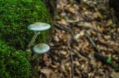Due funghi nel legno Fotografia Stock Libera da Diritti