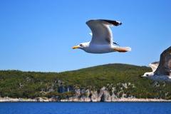 Due gabbiani con le ali largamente si sono sparsi stanno sorvolando l'acqua fotografia stock