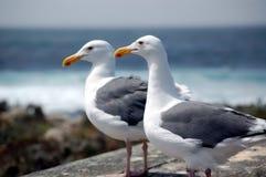 Due gabbiani si avvicinano al mare Immagini Stock