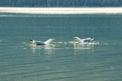 Due gabbiani stanno sedendo sull'acqua e stanno gridando fotografie stock libere da diritti