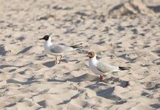 Due gabbiani su una spiaggia al tramonto Fotografie Stock Libere da Diritti