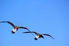 Due gabbiani volanti Fotografia Stock