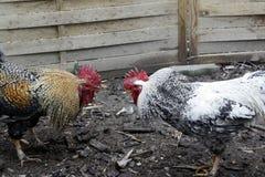 Due galli arrabbiati che stanno preparando per la lotta fotografie stock