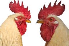 Due galli faccia a faccia isolati su fondo bianco Fotografie Stock