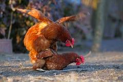 Due galline Immagine Stock Libera da Diritti