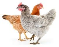 Due galline Immagini Stock
