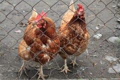 due galline nell'azienda agricola domestica Fotografia Stock Libera da Diritti
