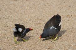 Due gallinelle d'acqua comuni Fotografia Stock