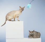 Due gatti Fotografie Stock