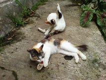 Due gatti Fotografie Stock Libere da Diritti