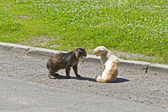 Due gatti Fotografia Stock