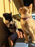 Due gatti Immagini Stock