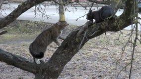Due gatti che cantano sull'albero della molla in città fanno il giardinaggio stock footage