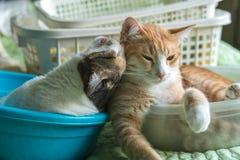 Due gatti che giocano insieme, esaminandolo, sono felici fotografia stock libera da diritti