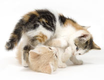 Due gatti che giocano sulla priorità bassa bianca fotografia stock libera da diritti