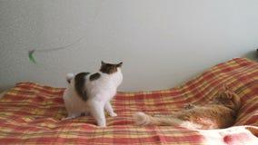 Due gatti che gioco con una piuma sul letto video d archivio