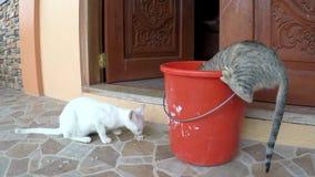 Due gatti che mangiano alimento rimanente dal secchio video d archivio