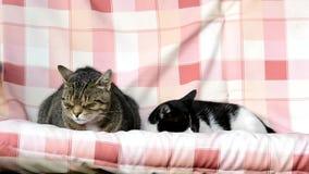 Due gatti che oscillano su un'oscillazione archivi video