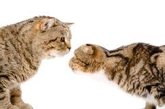 Due gatti che si fiutano immagine stock