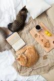 Due gatti che si trovano sulla coperta a casa in autunno Fotografia Stock