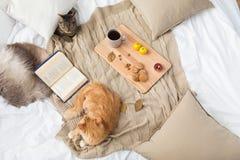 Due gatti che si trovano sulla coperta a casa in autunno Fotografia Stock Libera da Diritti