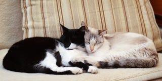 Due gatti che stringono a sé sullo strato fotografie stock