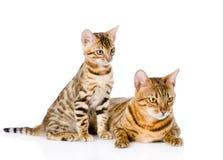 Due gatti del Bengala distogliere lo sguardo del gatto e del cucciolo della madre Isolato Fotografie Stock