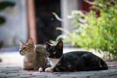 Due gatti domestici che si siedono e che posano per l'immagine fotografie stock