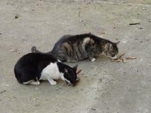 Due gatti mangiano il pesce Immagini Stock
