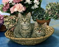 Due gatti nel trug Fotografia Stock Libera da Diritti