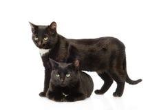 Due gatti neri Isolato su priorità bassa bianca Fotografia Stock Libera da Diritti