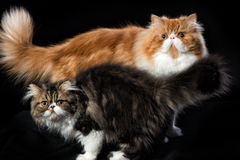 Due gatti persiani di coloritura differente Immagini Stock