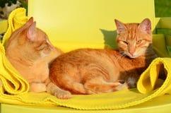 Due gatti rossi nel sole eveving Immagine Stock