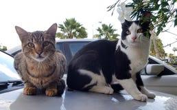 Due gatti si siede sull'automobile immagine stock