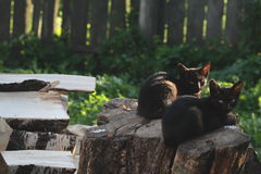 Due gatti su un ceppo Fotografie Stock Libere da Diritti