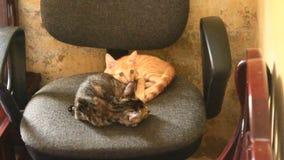 Due gatti sulla sedia video d archivio