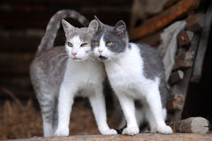 Due gatti svegli Fotografia Stock