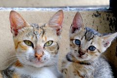 Due gatti svegli che posano davanti alla macchina fotografica Immagini Stock