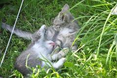 Due gattini Immagini Stock Libere da Diritti
