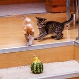 Due gattini adorabili che giocano insieme immagine stock