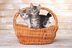 Due gattini adottabili in un canestro Fotografie Stock
