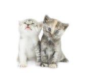 Due gattini barrati isolati fotografia stock libera da diritti