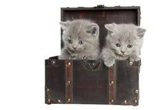 Due gattini britannici dei breve-capelli Fotografie Stock Libere da Diritti