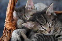 Due gattini che dormono in un canestro di vimini Fotografia Stock
