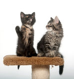 Due gattini che si siedono sulla torretta Fotografia Stock Libera da Diritti