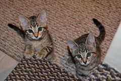 Due gattini curiosi che aspettano le risposte immagine stock