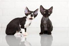 Due gattini del rex del Devon Fotografia Stock