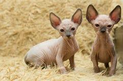 Due gattini dello Sphynx immagine stock libera da diritti