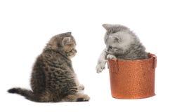 Due gattini grigi di combattimento Immagini Stock Libere da Diritti