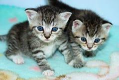 Due gattini molto piccoli del tabby fotografia stock